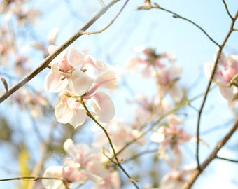 Blooming magnolia tree, Instant Digital Download Art Photography Printable, magnolia blossom flowers, blue mint and pink floral photography