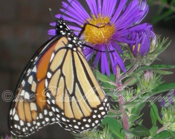 Cloister's Butterfly