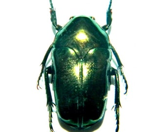 ISCHIOPSOPHA CERAMENSIS Real Insect Taxidermy Indonesia