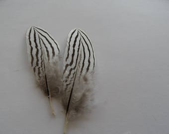 very rare (2) silver pheasant feathers
