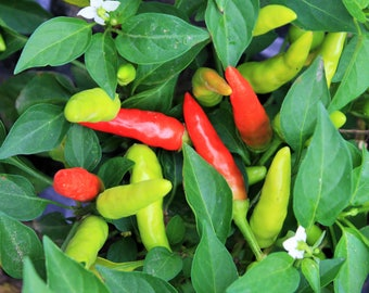Heirloom Pepper Seeds, Thai Pepper Seeds, Chili Pepper seeds, Thai Chili Pepper Seeds, Non-GMO pepper seeds, Hot Pepper Seeds