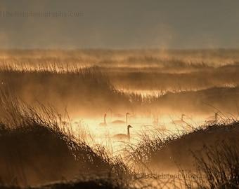 Tundra swans, birds, wildlife, fog, mystical, Oregon, birding, fog, mist, water, rustic, waterfowl