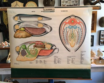 Vintage 1966 mold anatomical chart made in England, mussel, molusco