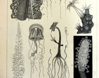 1904 engraving of Cnidaria , antique marine sea life print, curiosity oddity zoology  Jellyfish coral COLENTERATEN .