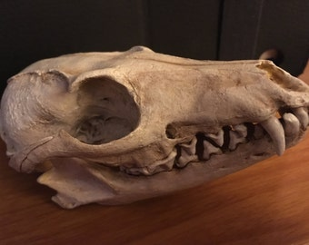Grey fox skull replica
