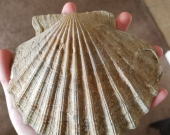 Fossilized Chesapeaken Scallop Shell