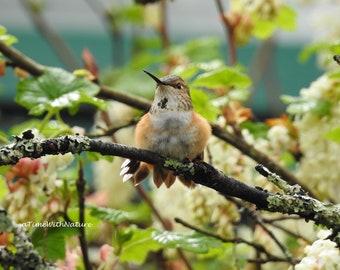 Rufous Hummingbird - Digital Download