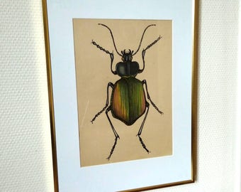 drawing on vintage (1940s) sacarabee: Calosoma sycophanta