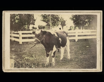 Rare 1860s CDV of a Cow! Hand-Tinted