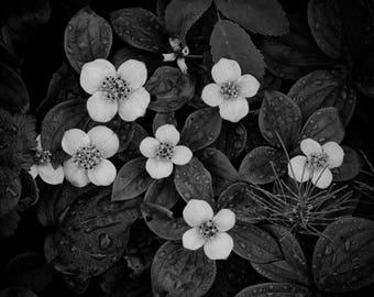 Black and white mini dogwood, dogwood print, mini dogwood, flower print,dogwood art, mini dogwood photo, dogwood wall art, Alaska