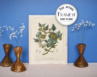 "Vintage illustration of Hop - framed fine art print, botanical art, home decor 8""x10"" ; 11""x14"", FREE SHIPPING - 76"