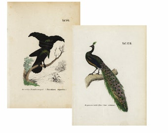 Lot of two Antique Original Hand colored  Natural History  Bird Prints-   Peack and Bird of Paradise