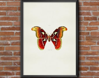Old vintage Illustrations of insects-Orange Butterfly