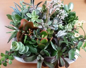 """10 Assorted Succulent Cuttings (2""""-4"""")"""