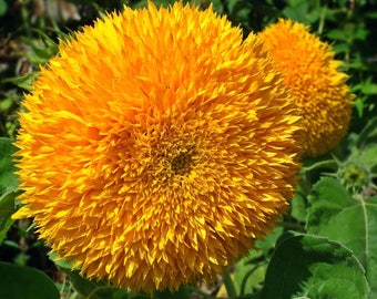 Teddy Bear Sunflower Seeds Semi Dwarf Helianthus