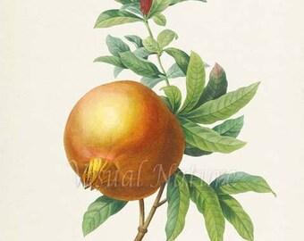 Pomegranate Botanical Print, Pomegranate Art Print, Fruit Art, Fruit Print, Kitchen Art, Garden, Redoute Art, Home Decor, Grenadier Punica