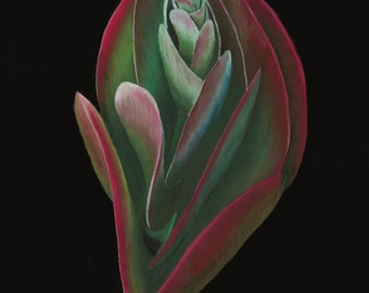 Print of an original pastel drawing of a Flapjack succulent