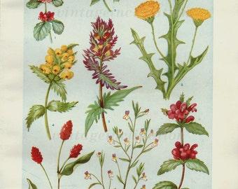 1933 Antique flower art print, Flowers of the Cornfields, double sided bookplate, botanical flower art illustration