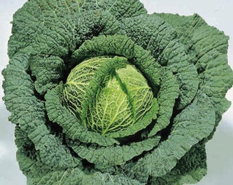 "VKCS)~""ORMSKIRK"" SAVOY Cabbage~Seeds!~~~Great Winter Variety!"