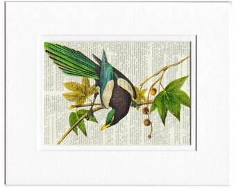 magpie Audubon print
