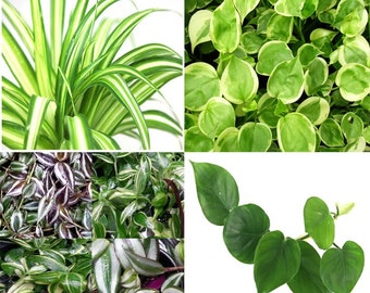 Philodendron Heart Plant, V. Peperomia, V. Spider, Wandering Jew Plant - CUTTINGS - House Plant, Excellent Clean Air Plants for Indoor
