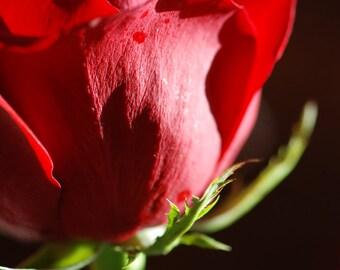 Valentine's Rose - botanical photograph - red flower art love romance
