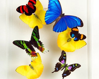 """8"""" x 10"""" Exotic Butterfly Display"""