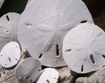 Coastal Home Decor Discounted Collection of Sand Dollars Different Sizes Set of 6 for Display, Beach Weddings, Display, Crafts, Supplies