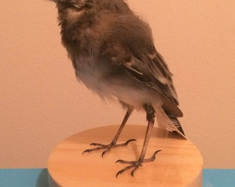 Cute ethically sourced taxidermy pied wagtail bird