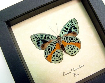 Real Framed Butterfly Display Eunica Chlorochroa 564