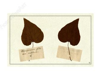 Ehemalige Herbarium/PRINT/Ombilicato/nicht Kunst Folio Menispermum Fiorina Editionen