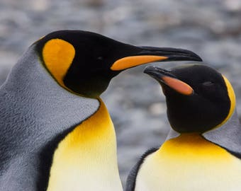 King Penguin Pair- I love you