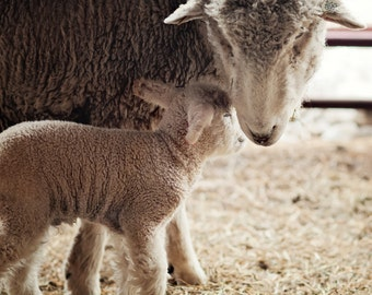 Lamb Photography, Lamb with Mother, Ewe and Lamb, Newborn Lamb, Nursery Decor, Whimsical Farm Photo, Easter, Lamb Portrait