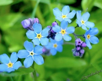 Forget-Me-Not Wildflowers, Blue and Tiny Sentimental flowers, Perfect Valentine: Forget Me Not, Photograph or Greeting card