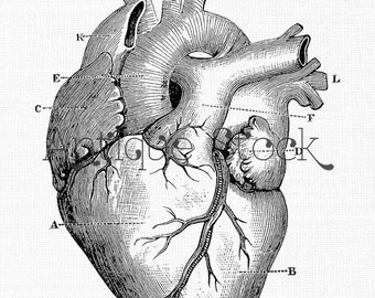 Anatomy Clipart 'Anatomical Heart' Digital Download PNG Image for Scrapbook, Wall Art, Collages, Paper Crafts, Cards...