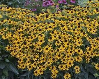 RUDBECKIA 'LITTLE GOLDSTAR' - Black Eyed Susan.  Perennial.  Plant.