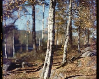 Birch grove at Sognsvann Lake, Oslo, Norway, Photography Art Print, Autumn, Large Print, Giclee, Collectible, Large Format Photography, 4x5