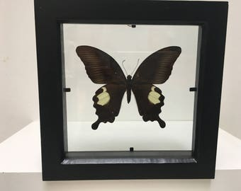 Papilio Sataspes  Butterfly/Taxidermy/Insect/Lepidoptera.