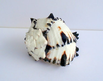 SINGLE Black Murex Sea Shell and a FREE air plant