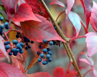 """Red Vines 