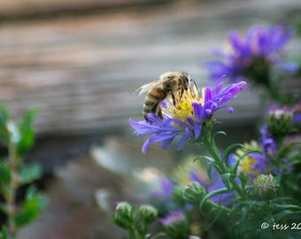 Honeybee Photography Print  - Honeybee Print  -  Honeybee Photo - Honeybee and Wildflower