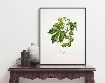 Botanical print vintage - Hops - Humulus lupulus - Hop - KO-33 - Fine art print of a vintage botanical natural history antique illustration