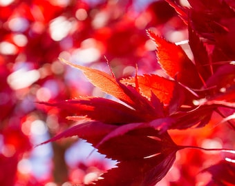 Fiery Autumn Leaves Fine Art Photograph, Red Leaves Wall Art, Nature Photography, Autumn Decor, Fall wall decor, Abstract Wall Art
