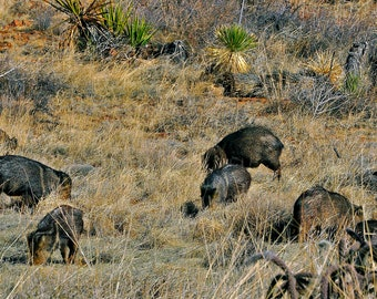 Javelina Family   Rootin for Supper   Like Pigs in the Desert   SW New Mexico   Collared Peccary Wildlife