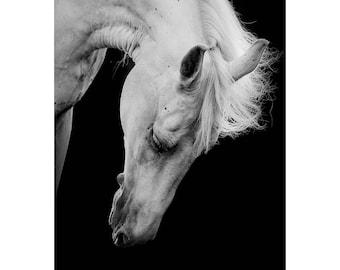 White Horse Bowing Canvas Prints