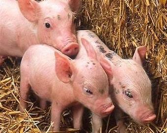 Pig Raising Pork Hog Swine Boar CD ROM Farm Hunting 30 Books Farming Homestead