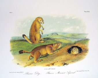 Prairie Dog Prairie Marmot Squirrel 1989 Vintage Audubon Book Plate Page for Framing Naturalist Illustration