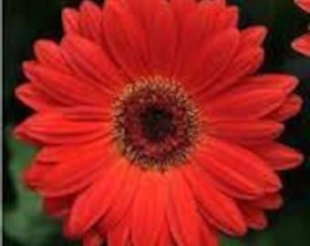 ADGR) REVOLUTION Scarlet Red Gerbera Daisy~Seed!!~~~~~WOW!