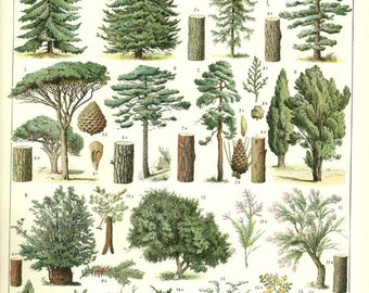 Tree poster 1936 Vintage botanical poster Botanical art Pine Tree print Pine Tree art classroom decor Picture of trees Woodcutters