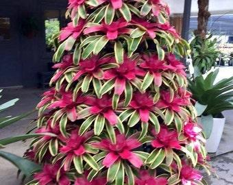 Beautiful Bromeliad Plant Seeds. Qty 20 Seeds